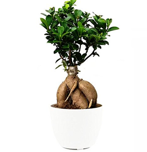 Abana Homes Gensing Grafted Ficus Bonsai Indoor Bonsai Live Plants