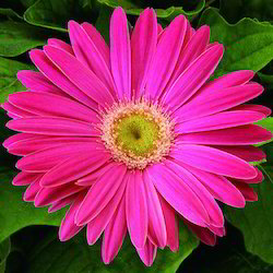 Natural Pink Gerbera Jamesonii Flower