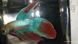Blue Neon tail betta fish, Size: 3.5-4 Inch