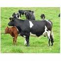 Low Yielding Cattle Feed