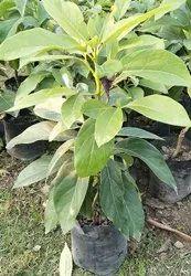 Avocado Plant - Wholesale Price & Mandi Rate for Avocado Plant
