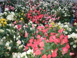 Rose Bunches ( Taj Mahal )