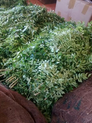 Fresh Curry Leaves 04