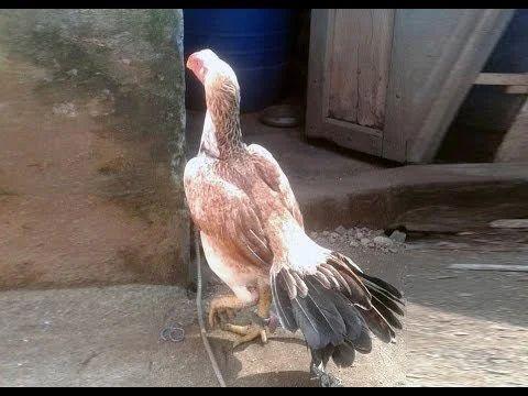 Aseel Long Tail Parrot Beak Chicks
