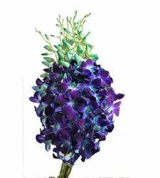 Hybrid Blue Orchids For Decoration