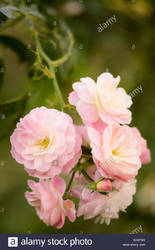 Musk Rose Fragrance