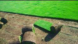 Lawn Grass Wholesale Price Amp Mandi Rate For Lawn Grass