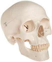 White Skull Model