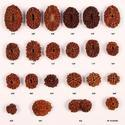 Rudhraksha Beads