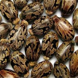 Castor Seeds   Loite L Store   Manufacturer in Dhule   ID