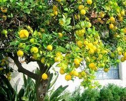 Lemon Plants
