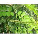 Garden Red Sandalwood Plant