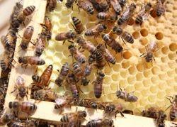 Honey Bees Service