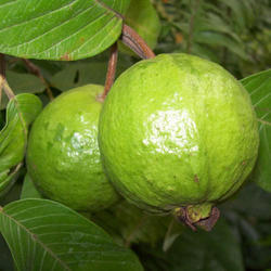 LK-49 Guava Plant