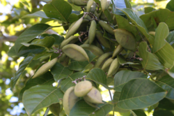 Sinhal Karanja Seed - Pongam Seeds - Pongamia Pinnata