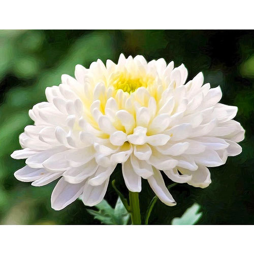 White chrysanthemum flower at rs 180 bunch chrysanthemum flowers white chrysanthemum flower mightylinksfo