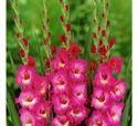 Pink Gladiolous Flower