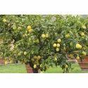 Balaji Lemon Plant