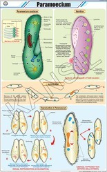 Paramoecium For Zoology Chart