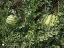 Maharaja F-1 Hybrid Watermelon Seeds