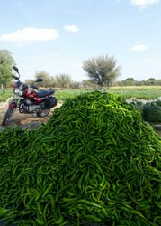 A Grade Fresh Green Chilli, For Cooking, Rajasthan