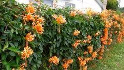 Bignonia Venusta
