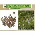 Acacia Catechu Seeds
