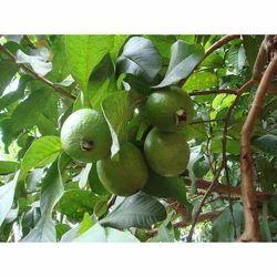 Fresh Guava Fruit