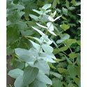 Organic Eucalyptus Globulus 70% Oil