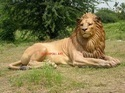 Fiberglass Lion Statue, Size/dimension: H 3 Ft Lifesize