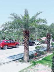 Outdoor Date Palm Trees