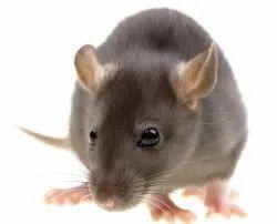 Offline 1 Days Rodent Pest Control Services