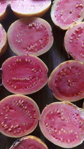 Grafted Guava Plant - Lalit Guava Plants Wholesale Supplier