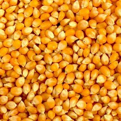 Dried Yellow Corn, High in Protein