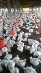 Vencobb chicken price in bangalore dating