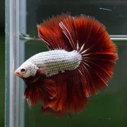 Simese Fighter Betta Fish, 2.5yer, Size: 5cm