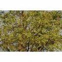 Holoptelea Integrifolia Tree
