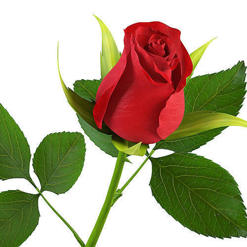 Red Rose Flower At Rs 25 Piece George Town Chennai Id