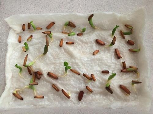 Adenium Seeds, Seeds & Plants | Kedarnath, Kolkata | Golden