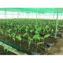 Mapal Soilless Troughs Herbs, Spices, Pineapple, Lilium