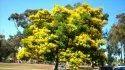 Gulmohar / Deloni Regia Tree Seeds