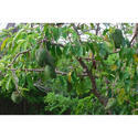 Graviola Fruit Plant