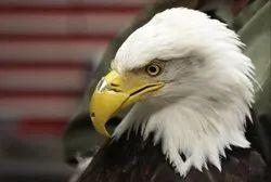 Eagle Prosthesis