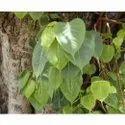 Ficus Religiosa Plant