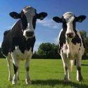 Dairy Calf Grower Feed
