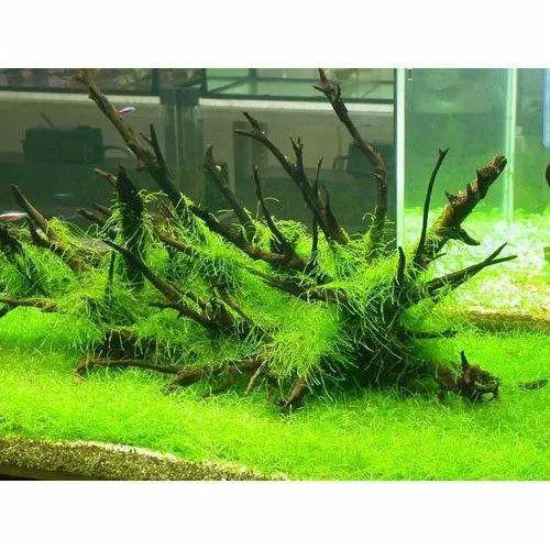 Aquarium Plants Pack Of 2 Rs 50