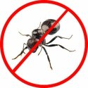 Yearly Black Ants Pest Control Service
