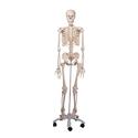 Universe Surgical Pvc Human Anatomical Models