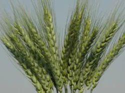 Omkar Wheat