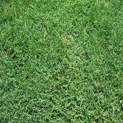 Bermuda Carpet Grass, For Bussiness, Natural, Rs 7.5 ...